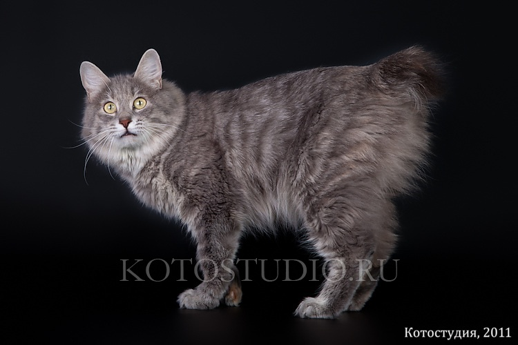 Kurilian Bobtail poil court et poil long - CH. lynx standart Vatrushka