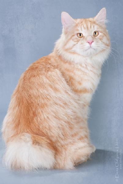 Kurilian Bobtail poil court et poil long - CH. Baston favorit tails
