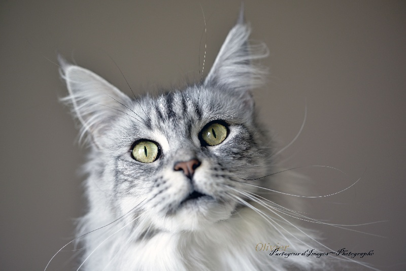 Maine Coon - CH. Glamour happy coon's