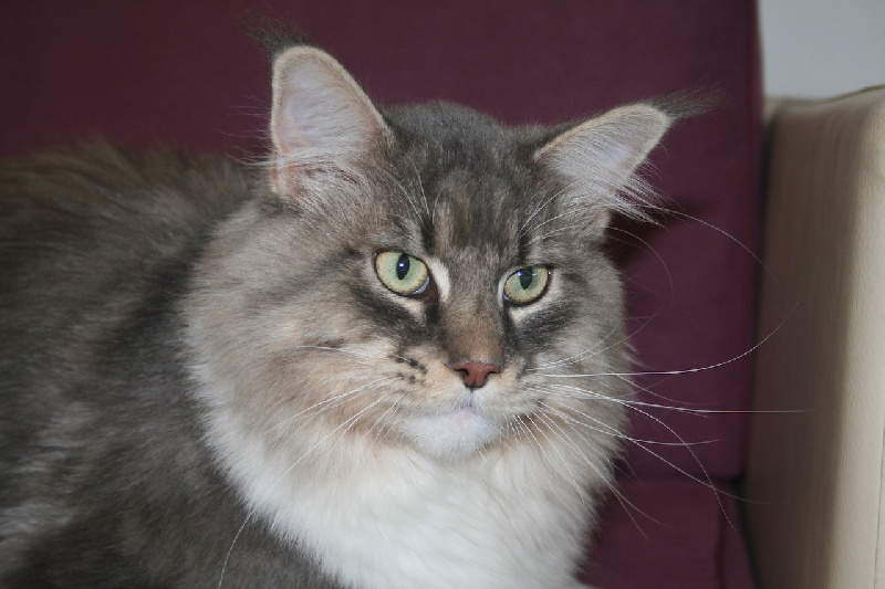 Maine Coon - Lord scratchy Des Chats de Kerma