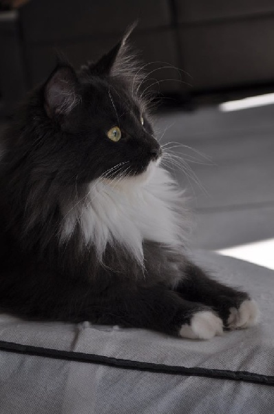 https://www.chats-de-france.com/photo/chats/t_chat/chats-maine-coon-1ca3f6e8-af69-5334-fd9c-3096bbd2b592.jpg