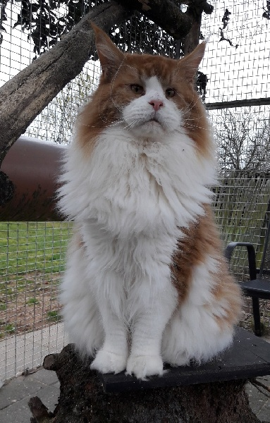 Maine Coon - coolmotion's Simply red