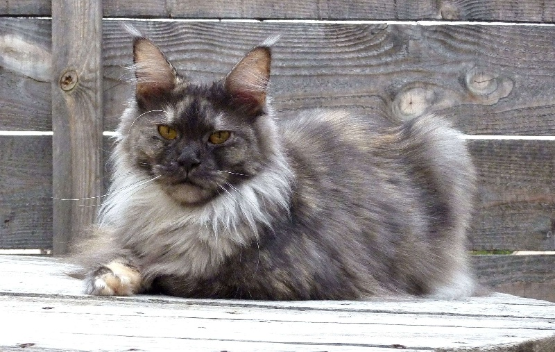 Maine Coon - CH. gangstercat B'clermont