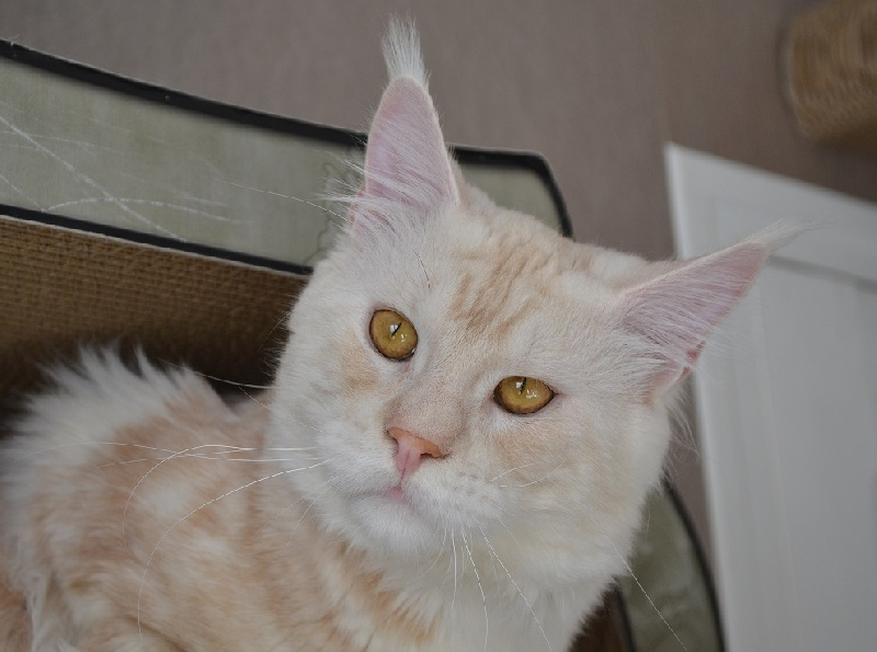 Maine Coon - Just A Dream's Jeronimo