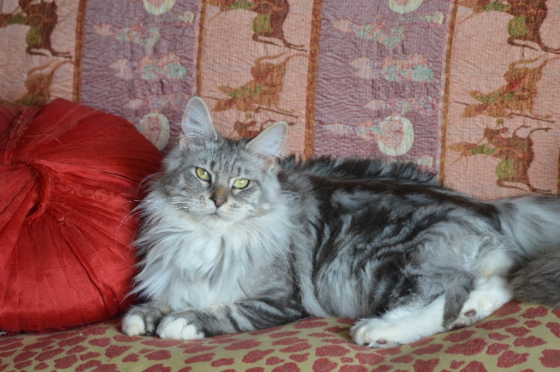 Maine Coon - Lily Des Malmares