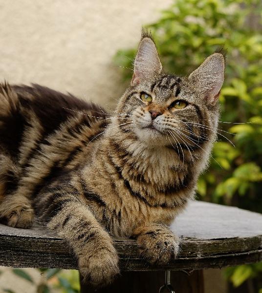 Maine Coon - Malice De Cat Wood Maine
