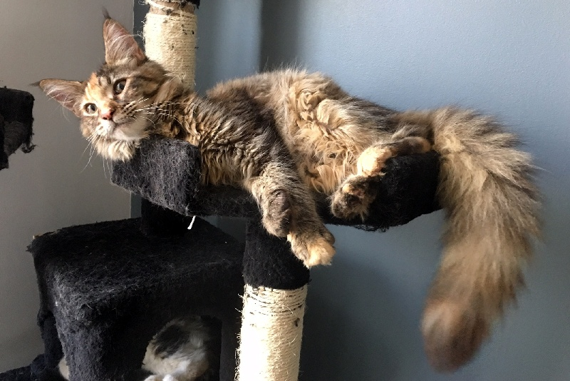 Maine Coon - Melba chocolat Crystal Dragon