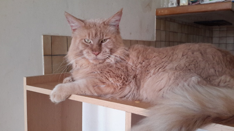 Maine Coon - little big horns Golden Angel