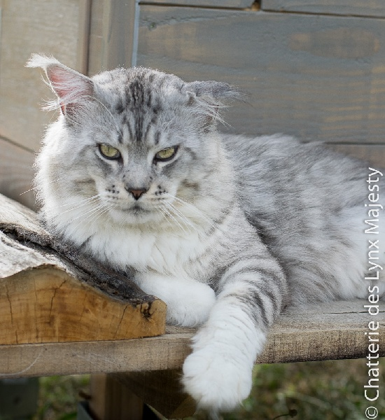 Maine Coon - Ixxl of roswell