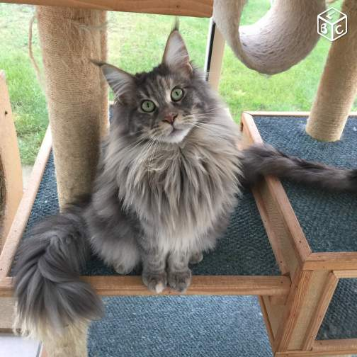 Maine Coon - dust of coon Kiss of love