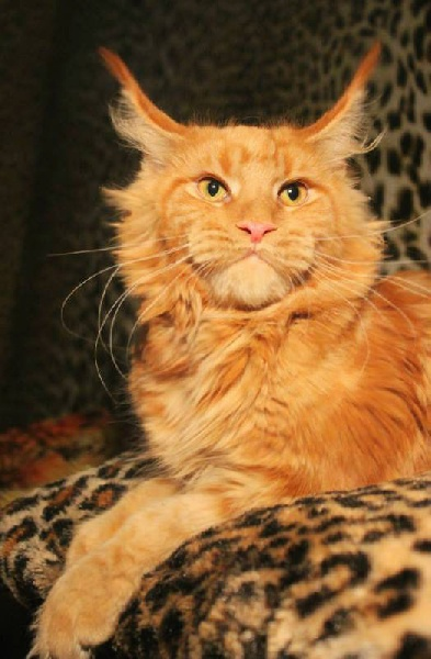 Maine Coon - magnet-coon O'red masterpiece