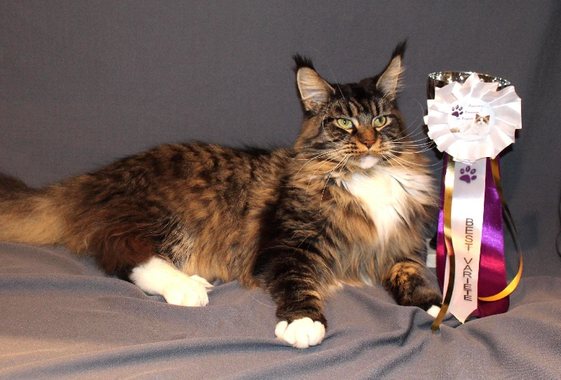 Maine Coon - CH. mitis gigas Debby