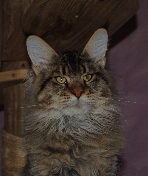 Maine Coon - Marsianin pp family stars