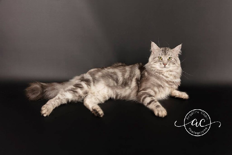 Maine Coon - So Out-coon's Mirai