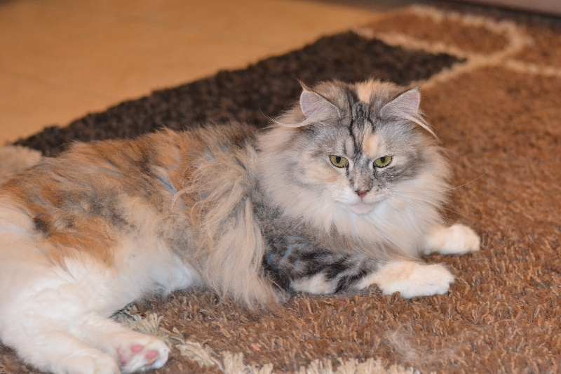 Maine Coon - Lorie rosmaine's