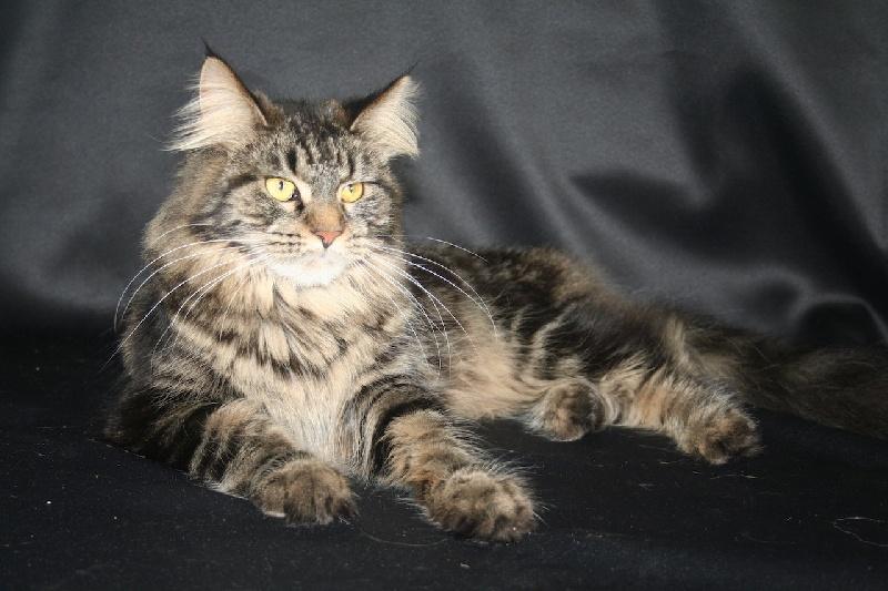 Maine Coon - Jinie De Kermacats