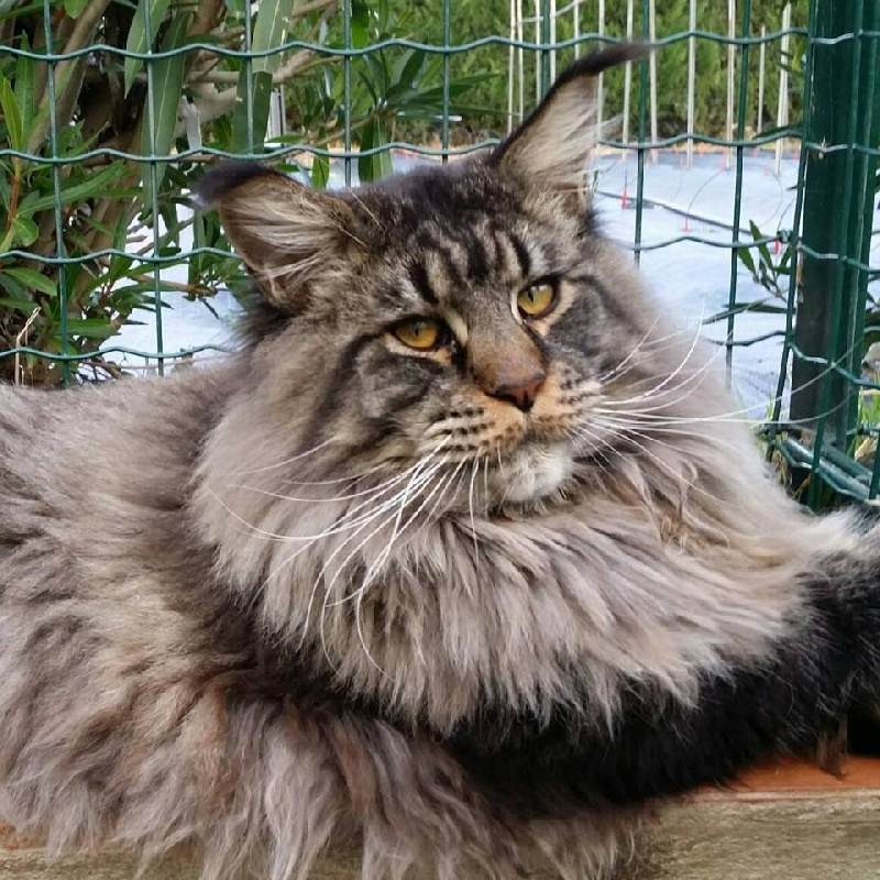 Maine Coon - summerplace Cashmere