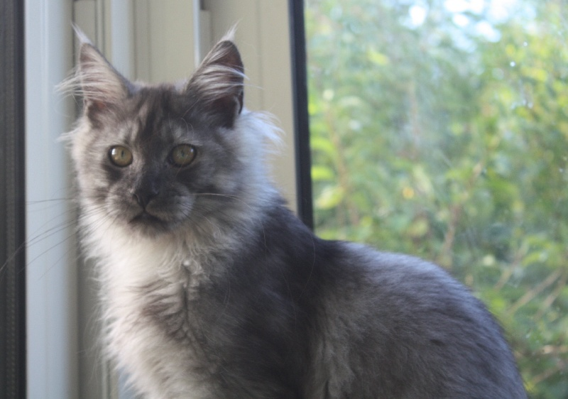 Maine Coon - magic panthera's Jack the ripper