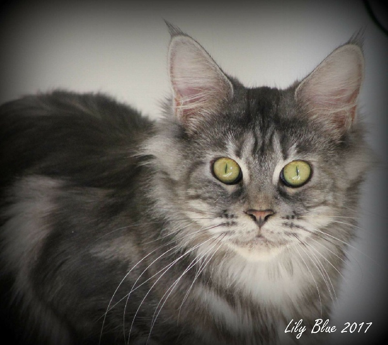 Maine Coon - Lilyblue domainesmerisiers
