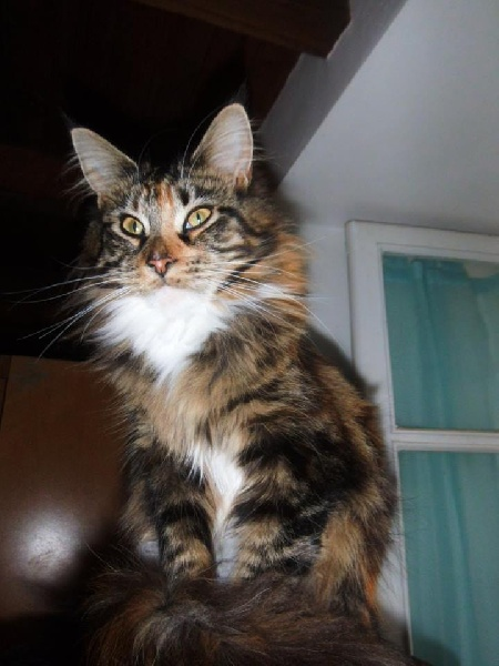 Maine Coon - Sans Affixe MALICE