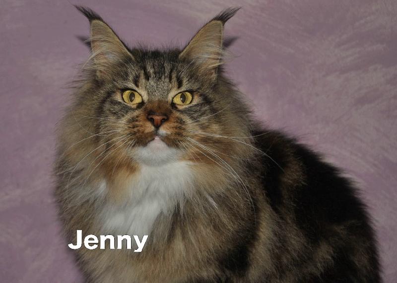 Maine Coon - Jenny de chastre