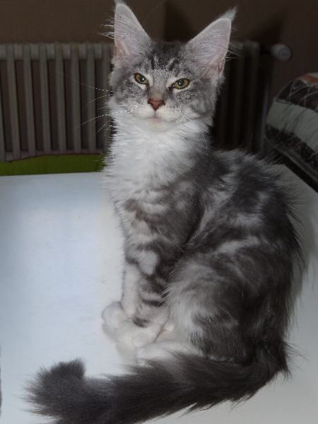 Maine Coon - toon y coon Gaia