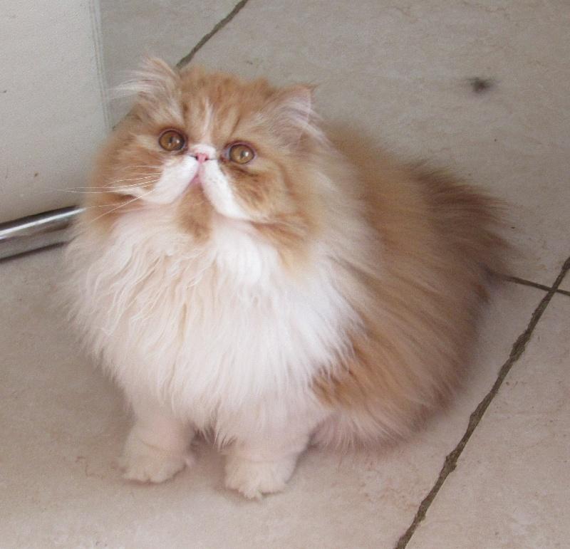Persan - Max de romeance cat