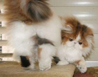 Persan - willstoncats Surprise