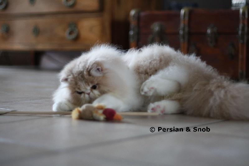 Persan - Isidore Of Fabi-Marc