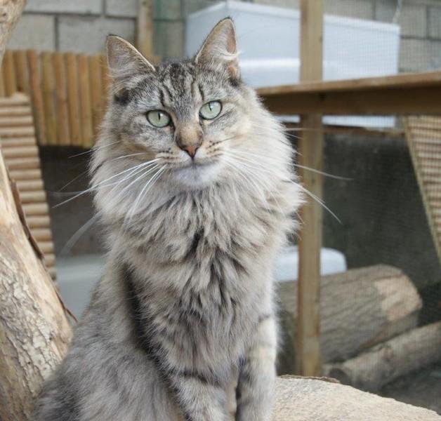 Pixie-Bob poil court et poil long - catsheavens Montana