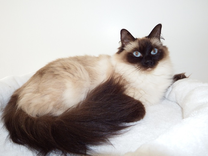 Ragdoll - In love des Douces Nuits
