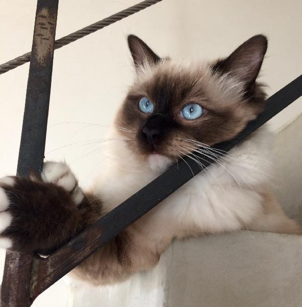 Ragdoll - Myrtille de la Chat'ouille