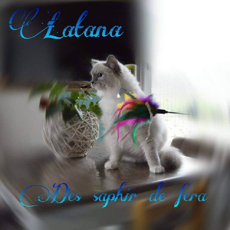 Ragdoll - Latana Des Saphir De Fera