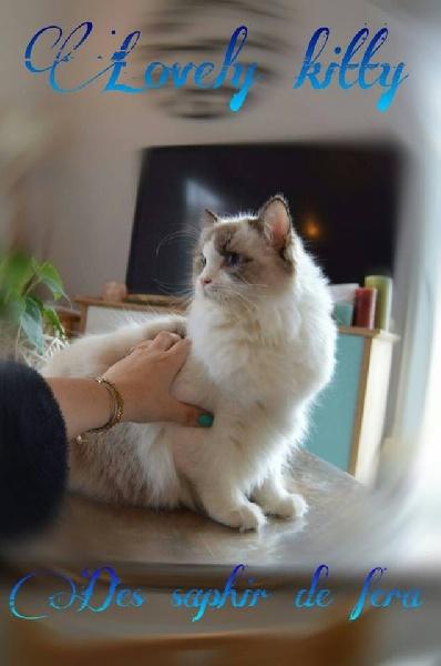 Lovely kitty Des Saphir De Fera