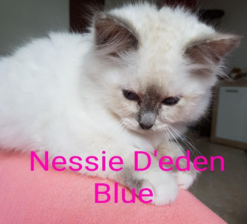 Sacré de Birmanie - Nessie D'éden-Blue