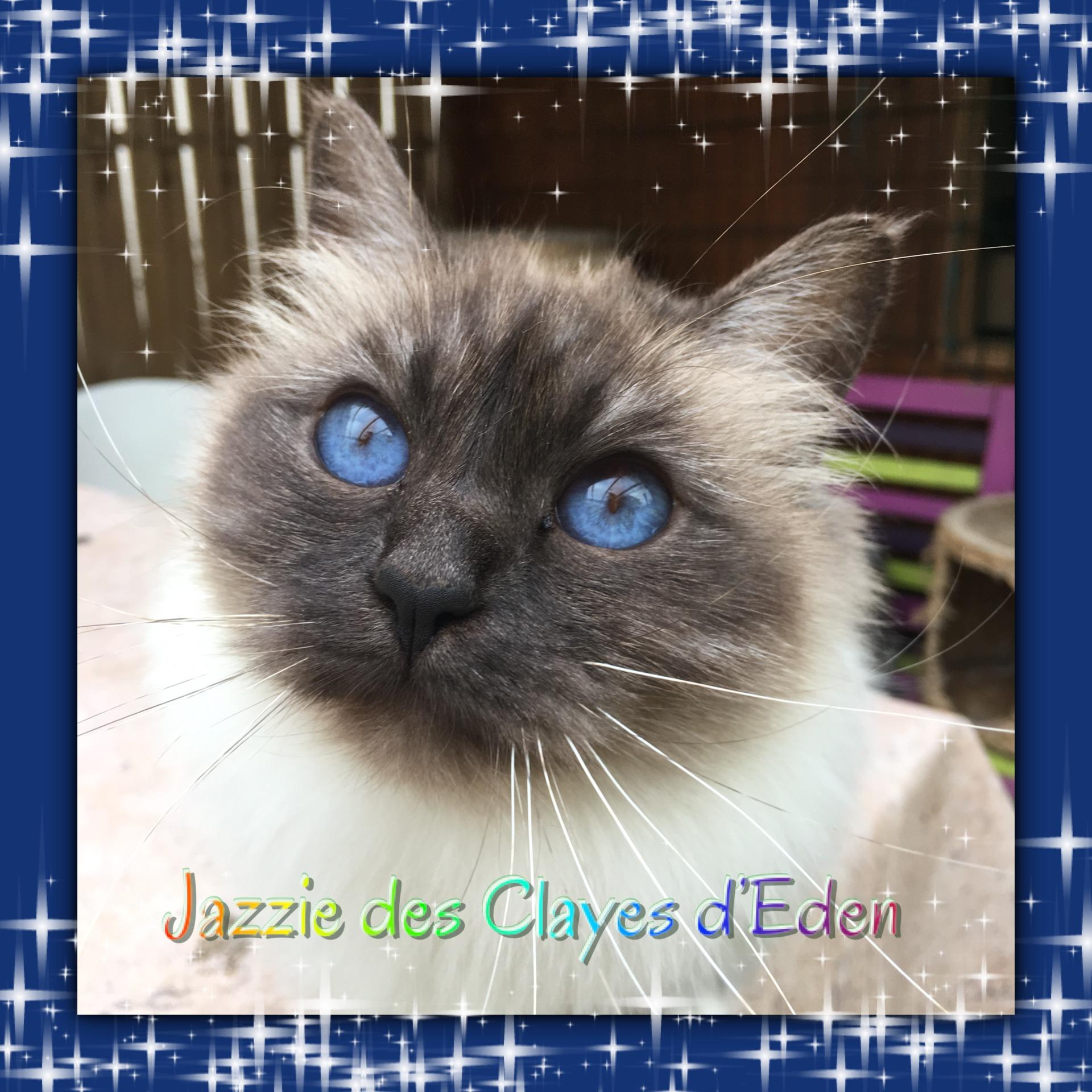 Sacré de Birmanie - Jazzie Des Clayes d'Eden