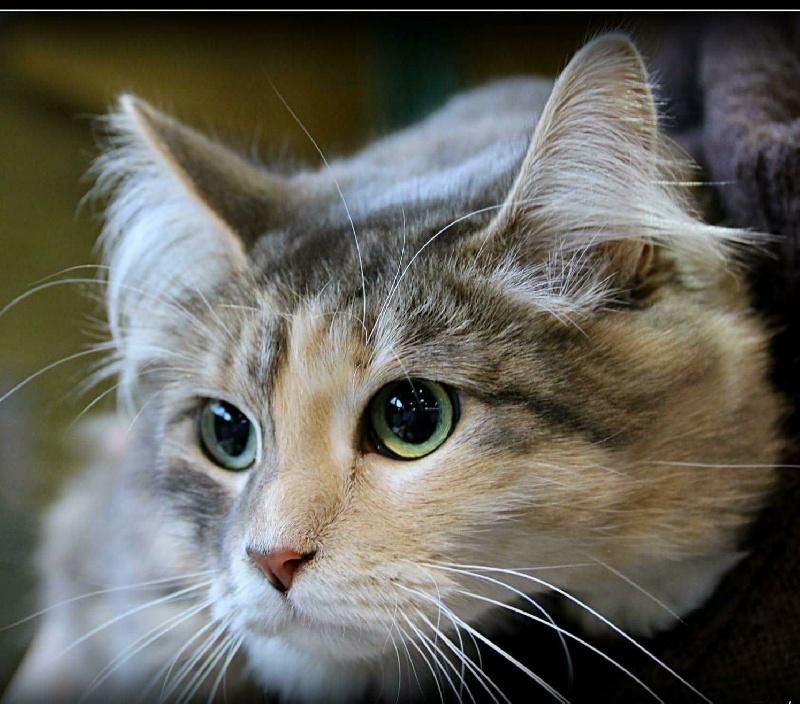 CH. Janushka Des Deux Helpes chat de race toutes races en
