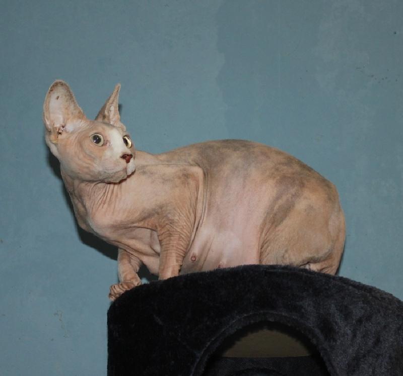 Sphynx - Royal Cat's Glasha