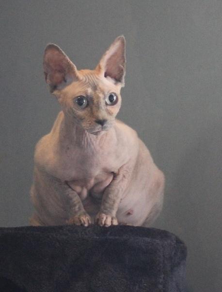 Royal Cat's Gueisha