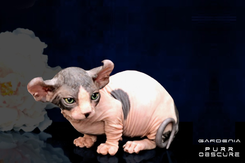 Sphynx - MURMULET  G A R D E N I A   Purr Obscure