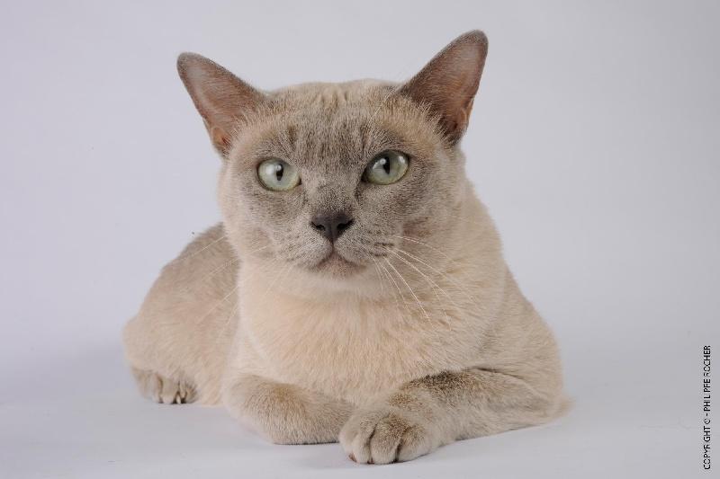 Tonkinois poil court et poil long - pendragon Fantasia des lollicat's