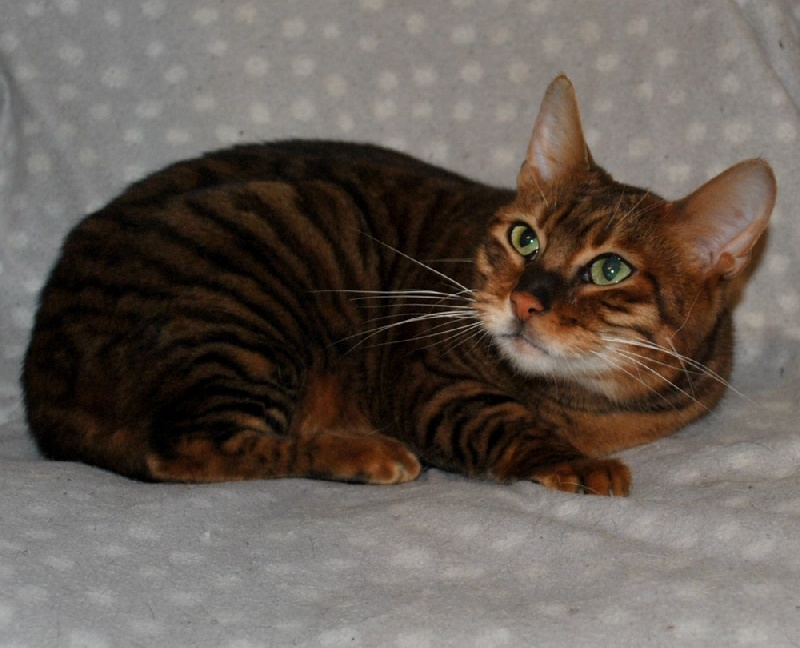 Toyger - tigervisions Montana
