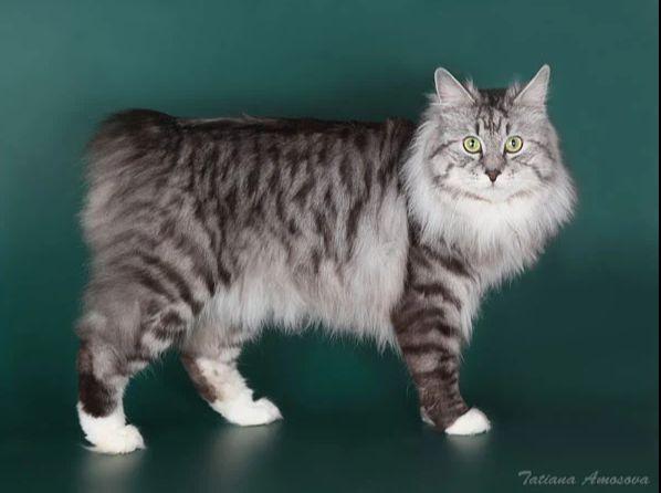 Kurilian Bobtail poil court et poil long - CH. Marzipan karmino cat