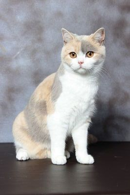 British Shorthair et Longhair - CH. avalon island's Orla joy
