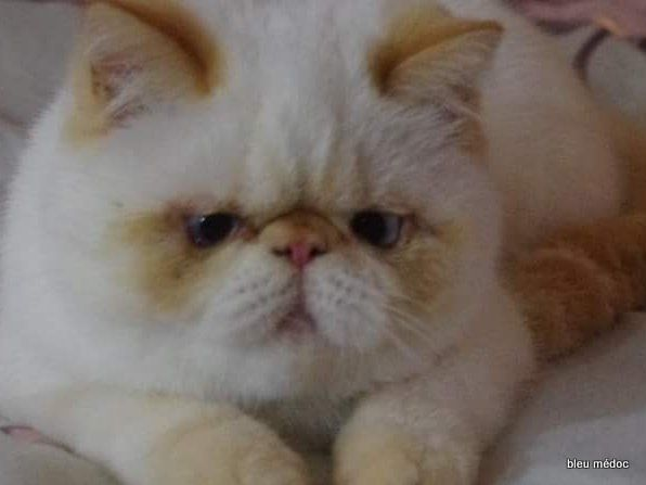Exotic Shorthair - Shelauria Mirabelle