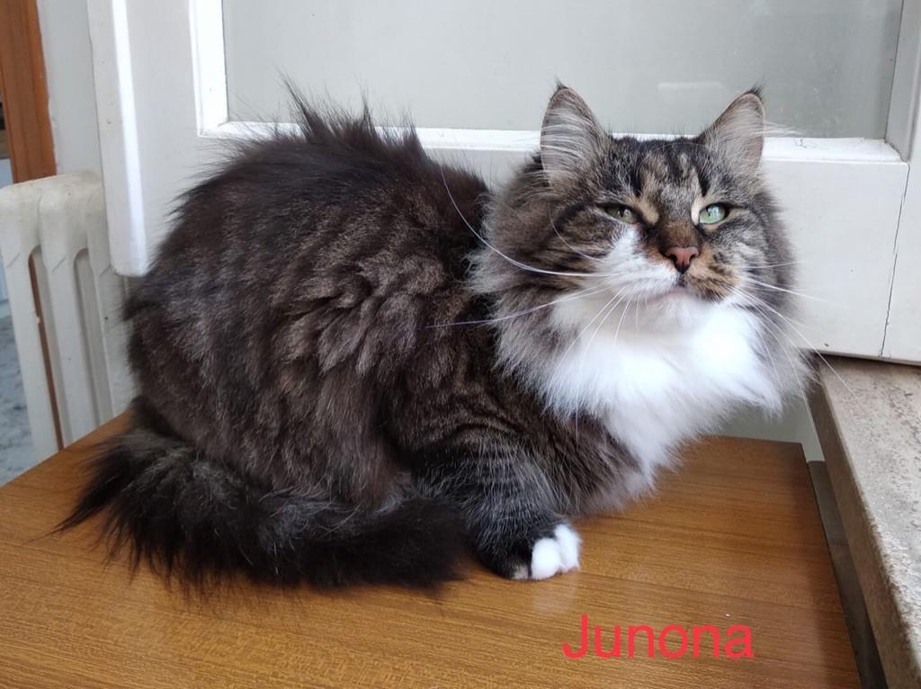 Sibérien - Junona grasiona