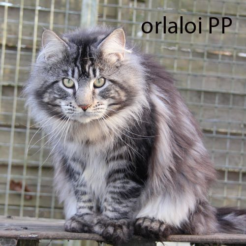 Maine Coon - black draco's Orlaloi pp