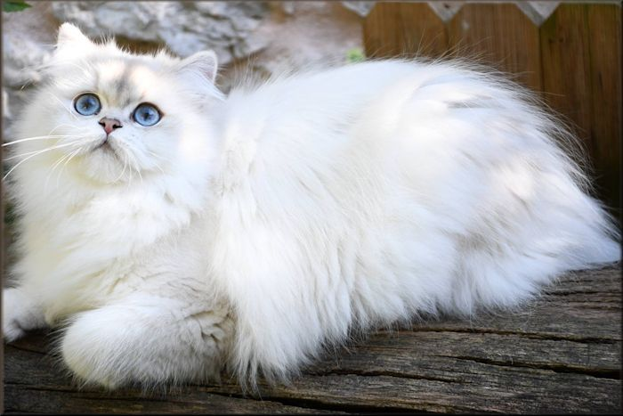 British Shorthair et Longhair - Neyla la lune bleue De Vis-à-vis