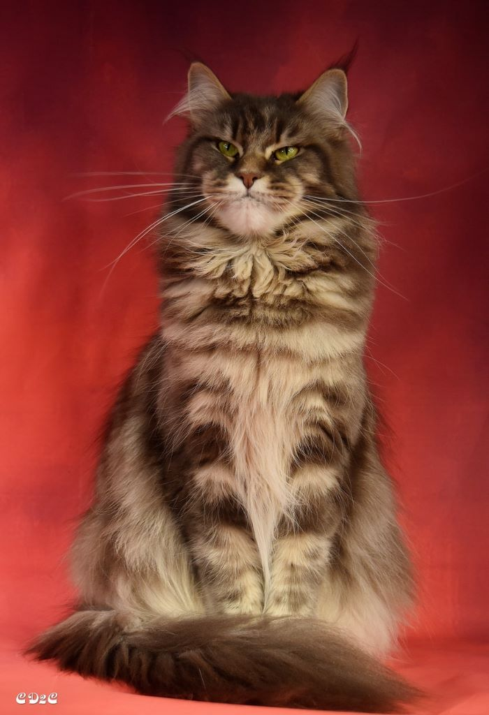 Maine Coon - witchcoon's Mis' munday