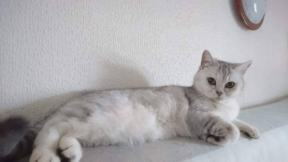 British Shorthair et Longhair - Moona Monomah